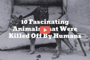 [Video] Top 10 Most Fascinating Extinct Animals That Were Killed Off By Humans