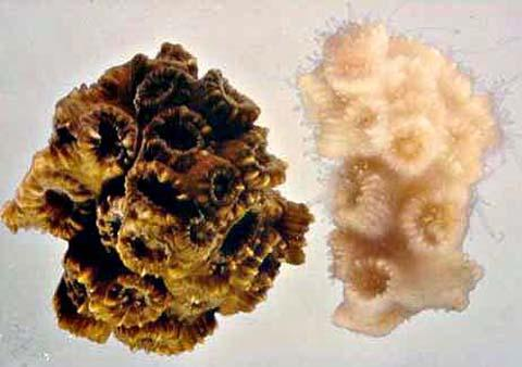 Image Comparing Bleached Coral to Healthy Coral - 8 Ways Warmer Oceans Will Affect Marine Life