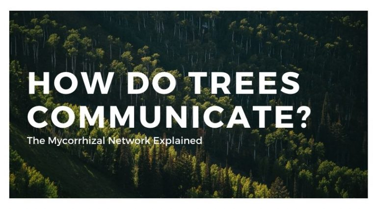 How Do Trees Talk With Each Other? (Mycorrhizal Network Explained)