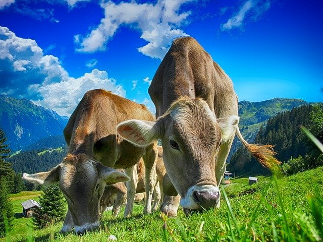 Cattle Pasture Livestock Farming - How Does Cooking Food Affect the Environment?